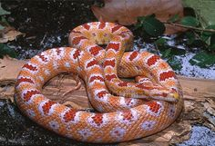 """Albino"" Okeetee Corn Snake ~ Elaphe guttata guttata by HGHjim, via Flickr"