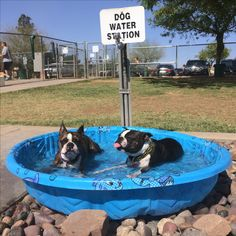 Don't forget to water your Boston Terrier!