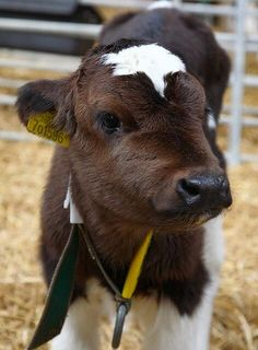 Aww just a cute little calf