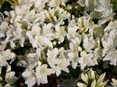 Japanische Azalee 'Schneewittchen' - Rhododendron obtusum 'Schneewittchen'