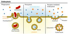 Endocytosis: an energy-using process by which cells absorb molecules (such as proteins) by engulfing them; used by all cells of the body because most substances important to them are large polar molecules that can't pass through the hydrophobic plasma or cell membrane; internalize proteins & other soluble macromolecules in the extracellular fluid