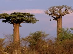 Baobabs both alive ... different rythmes