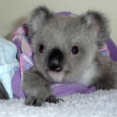 Adorable Baby Koala Bear being cared for at the Australian Wildlife Hospital - I want him!!! Cute Animal Pictures, Funny Animals, Animal Memes, Funny Koala, Animals And Pets, Exotic Animals, Wild Animals, Koalas, Australia Animals