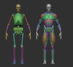 musculature simplified 3d model obj stl ztl 3