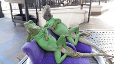 these guys again can not beat this pose  #posing #reptiles...
