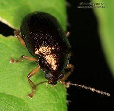 Unknown - Rhabdopterus