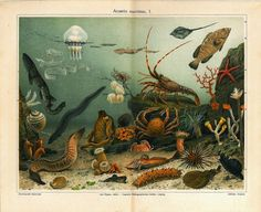 Sea Life  Antique  Chromolithograph 1923 Marine by carambas