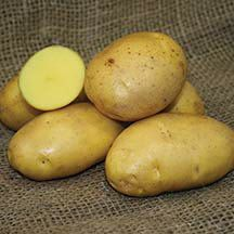 German Butterball Potato - 	 This superb potato says 'butter' and it's better than excellent. It has yellow, slightly flaky, melt-in-your-moth flesh with butter-rich flavor. One taste and you'll know why it won first place in Rodale's Organic Gardening 'Taste-Off' contest. Disease-resistant plants produce high yields of large, round to oblong tubers with lightly netted golden skin. A good keeper. Late season.