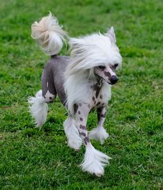 Chinese Crested. Such an interesting dog.