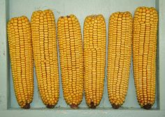 Should you eat the common yellow corn or maize