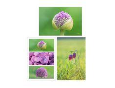 3 cartes postales photographies de nature fleur d'ail de jardin violet et fritillaire sauvage : Cartes par couleurs-nature-deco