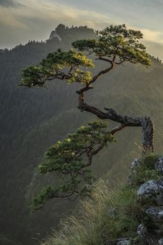 Photograph Mountain bonsai by Michał Połowiński on Relict , 500 year old pine on Sokolica in Pieniny taken at sunset. Plantas Bonsai, Landscape Photography, Nature Photography, Weird Trees, Unique Trees, Bonsai Plants, Bonsai Trees, Nature Tree, Parcs