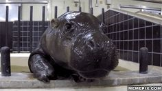 really cute baby hippo gif Animals And Pets, Baby Animals, Funny Animals, Cute Animals, Animal Pictures, Cute Pictures, Really Cute Babies, Cute Hippo, Bad Cats