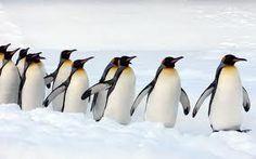 Afbeeldingsresultaat voor pinguin
