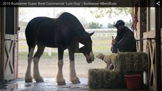 Is this the cutest advert you've ever seen? Watch now at http://www.horseandhound.co.uk/news/2015-budweiser-superbowl-clydesdales-advert-472658#oT97OYiUMdFTuhlO.99