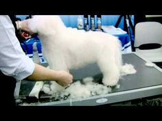 Pinned from Groomer TV. Grooming the Bichon demo.