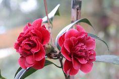 "Camellia jap. ""Burgundy Gem"""
