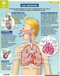 Fiche exposés : Les poumons