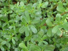 Purslane also contains CoQ10, glutathione, dopamine, and melatonin which can not only can help regulate your sleep cycle