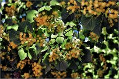 Fleurs de tilleul - null