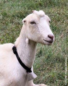 lamancha goats - Google Search | Freaking Adorable!! | Pinterest ...