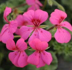 ... Ground covers for LA on Pinterest | Hardy geranium, Weed and Plants