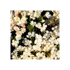 Verveine Retombante Empress Flair White Rose, Plant, White Flowers, Pink, Roses