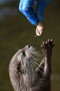 Otter Reaches Up to Receive a Treat