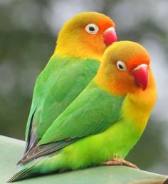 A pair of lovebirds | Pair LoveBirds  New Tv Cage (See Pics)