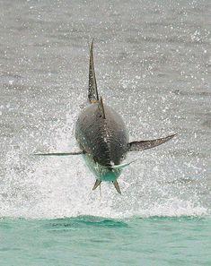 Hunting Yellow Fin Tuna
