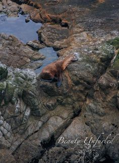 A sea lion is having sweet dreams in the rocky nook at Point Reyes National Seashore  award-winning photography by Beauty Unfurled www.beautyunfurled.com