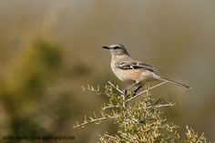 mis fotos de aves: Calandria mora [Mimus patagonicus] Patagonian mock...
