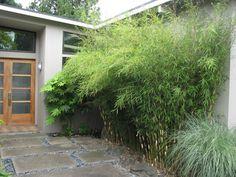 Non-invasive clumping bamboo near a front entrance