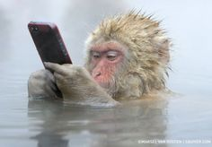 Japanese Snow Monkey Swipes Tourist's Phone - This amusing capture by acclaimed Dutch photographer Marsel van Oosten shows a Japanese snow monkey (also known as a Japanese macaque) who mischieviously stole a tourist's iPhone at the Jigokudani Monkey Park in Japan.