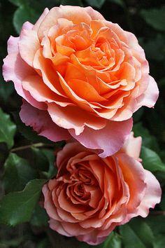 'Albrecht Durer' | Hybrid Tea Rose. Tantau, 2002 | © Oliver - I want this 1 in my garden!