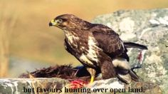 Hidden life and unknown life history of Common buzzard