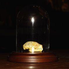 Tiny bat skull in dome.