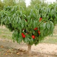 Cum se face altoirea cu ramură detașată, sub scoarța terminală Prunus, Garden Pool, Plantation, Growing Plants, Black Magic, Permaculture, Avocado, Solar, Organic