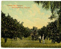 #indianriver #groves #oranges #citrus #grapefruit #vintage #florida