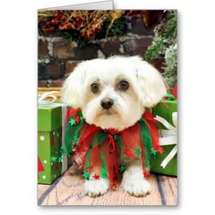 Christmas - Maltese - Annie Card