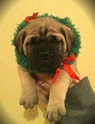 Holiday Mastiff