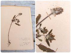 Vintage 1956 French herbarium Brunella by petitbrocante on Etsy