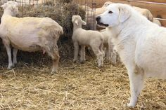 Stone Barns Center April 2013  The farm has 2 Maremma Sheep Dogs, Stella and Stanley.  An Italian Breed still used in Central Italy.  They are more protectors of sheep than herders and are incredibly gentle with lambs, but can be quite fierce when they feel a flock is being threatened.