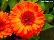 Calendula, birth month flower for October.  My birth month and the month I met my husband.  Didnt plan on the color orange but could place a couple in bouquet for accent color.