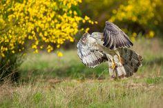 European honey buzzard (Pernis apivorus) by Fabio Usvardi