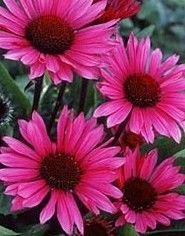 "Echinacea purpurea 'Fatal Attraction'    Coneflower  USDA Hardiness Zone 3-8  This fragrant, upright coneflower is a real garden attraction! Deep-magenta, up-turned petals on very strong, dark stems. Great for cutting.  Height 24-26""  Spread 12-14""  Blooms July-Aug"