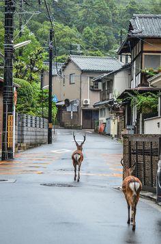 Deer Casually Strolling the Streets of Miyajima Island