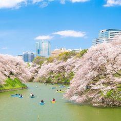 """@omu_omu's photo: """"* * Holiday in Tokyo. * * ジェイさん(@j_ledzep )主催のお祭りに参加です。 #ザ花部  #ザ花部祭り2014春 * * * もう多くの人がアップしてる、千鳥ヶ淵の桜です。すっごく春を感じれました。 の。 * * 話を逸らしますが今日から、マスターズですね。意外とゴルフ好きだったりします。まぁ今は全然してないのでテレビで見るだけです。まぁ関係ない話でした。"""""""