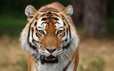 Gatos selvagens tigres siberianos Papéis de Parede - 2560x1600