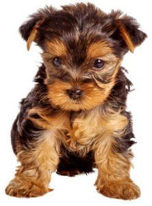 yorkie! for the koulis girls!